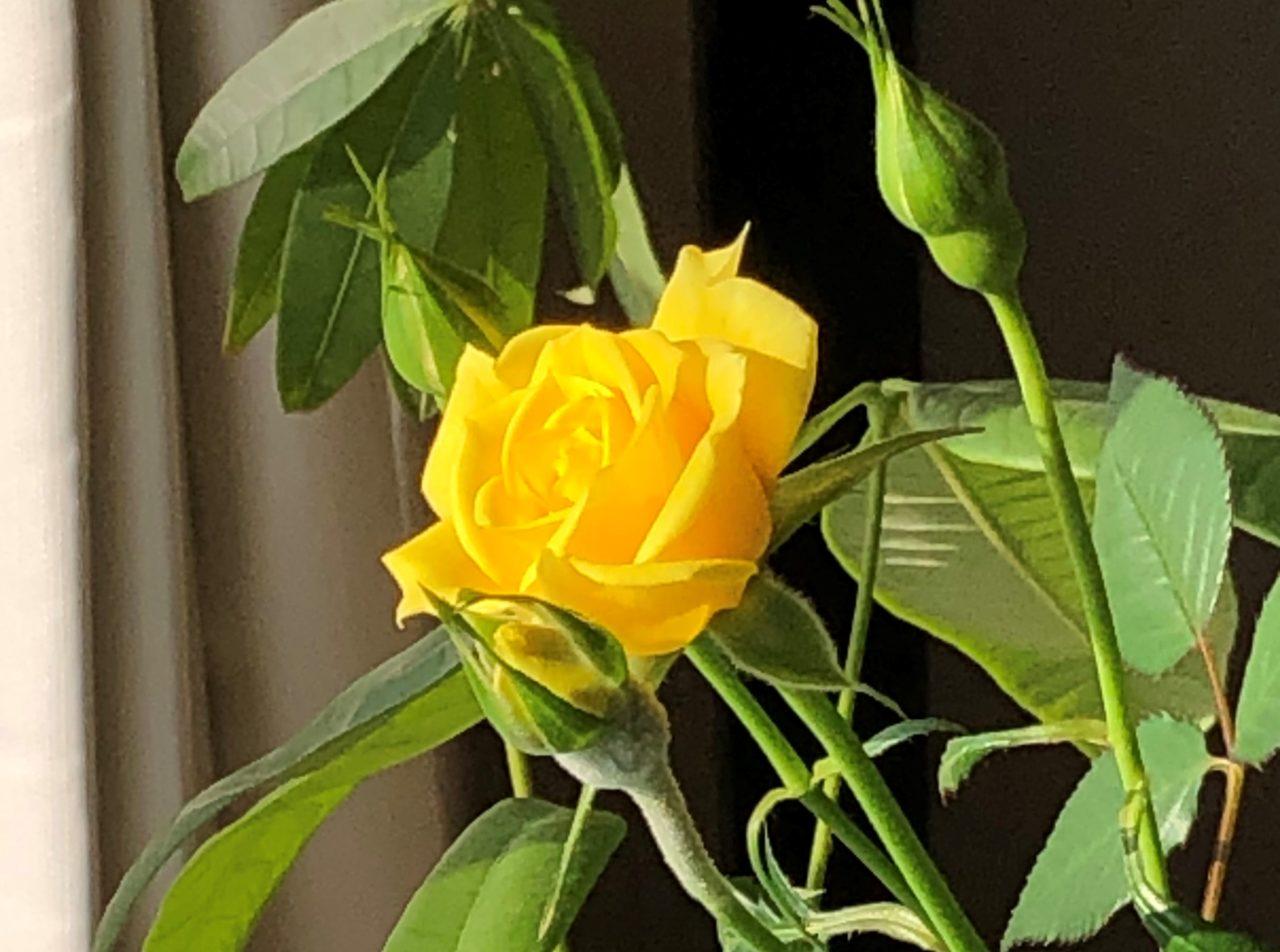 暮らしを楽しむ。生活に彩りを加えるバラの花の画像です。