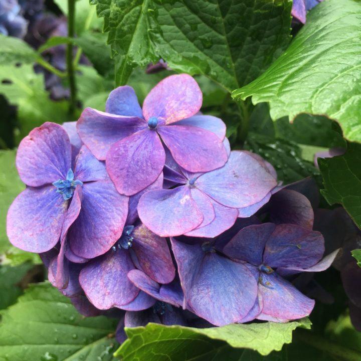 変化のない生活なんてない。紫陽花で取り戻した梅雨の訪れの画像