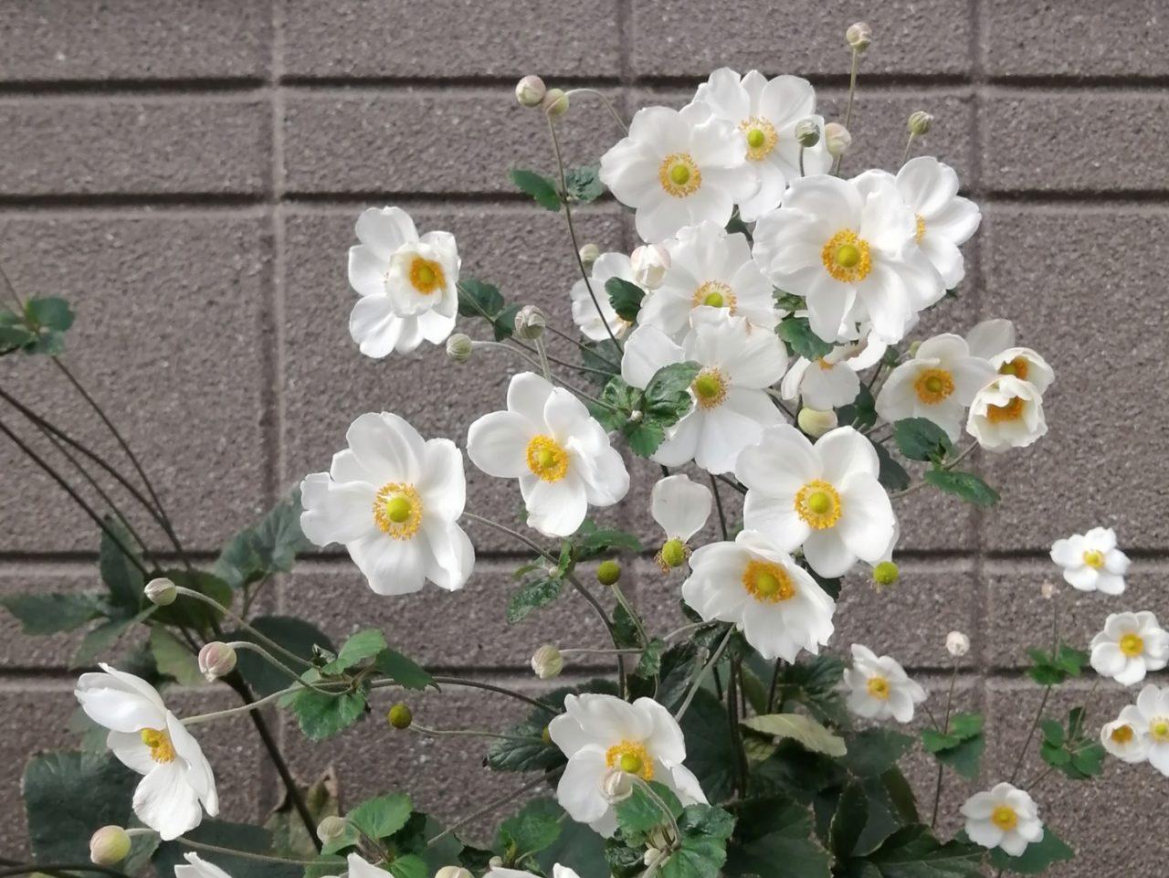 散歩で見つけた白い花