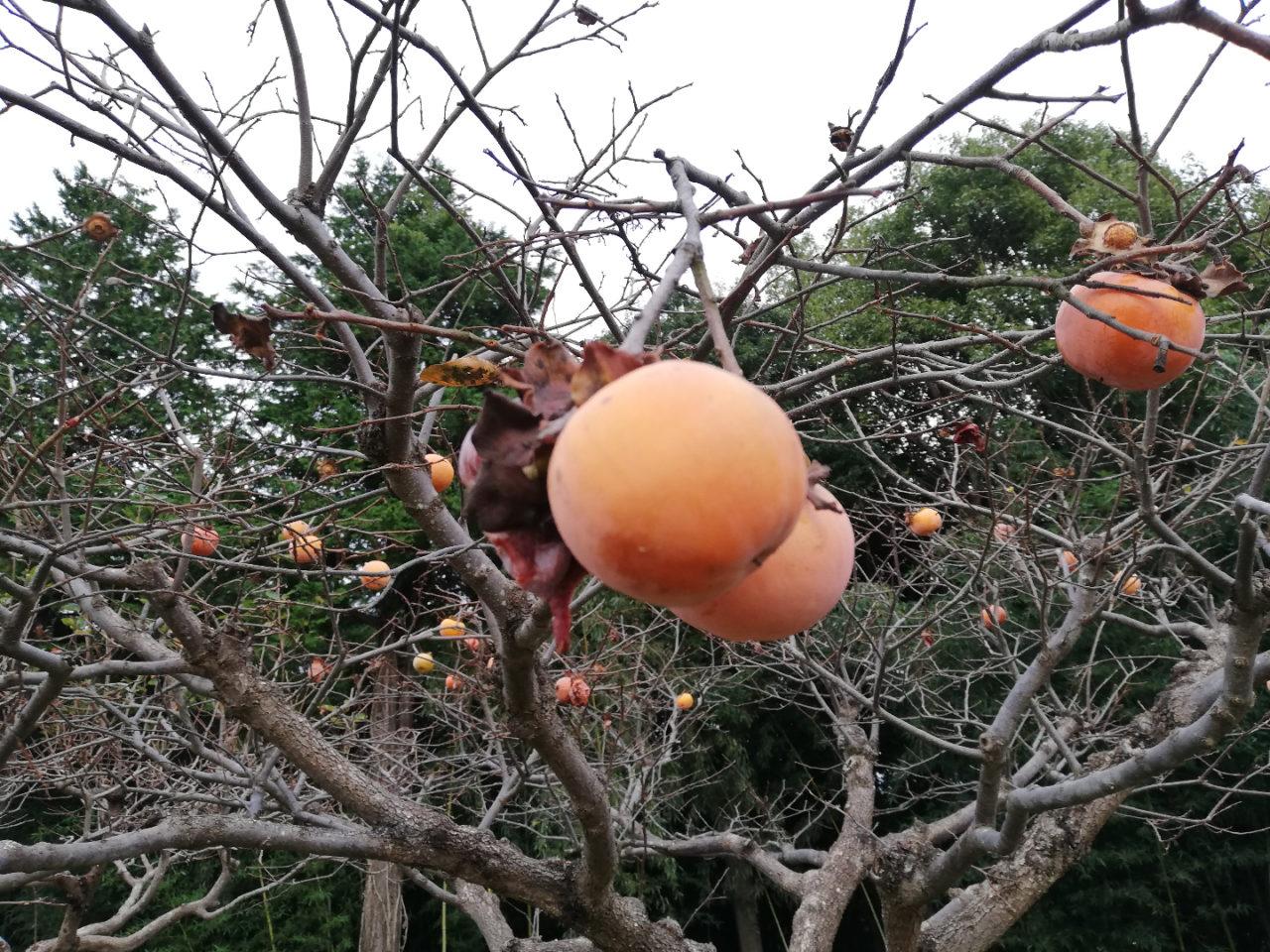 秋の様子、果物の柿