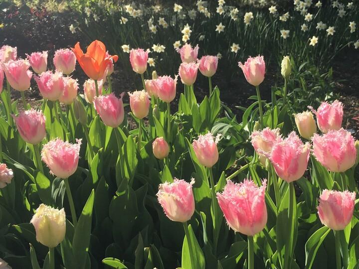 ピンクのチューリップの花言葉はママにぴったりな『愛の芽生え』
