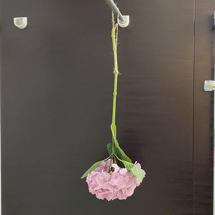 紫陽花を乾燥させている様子