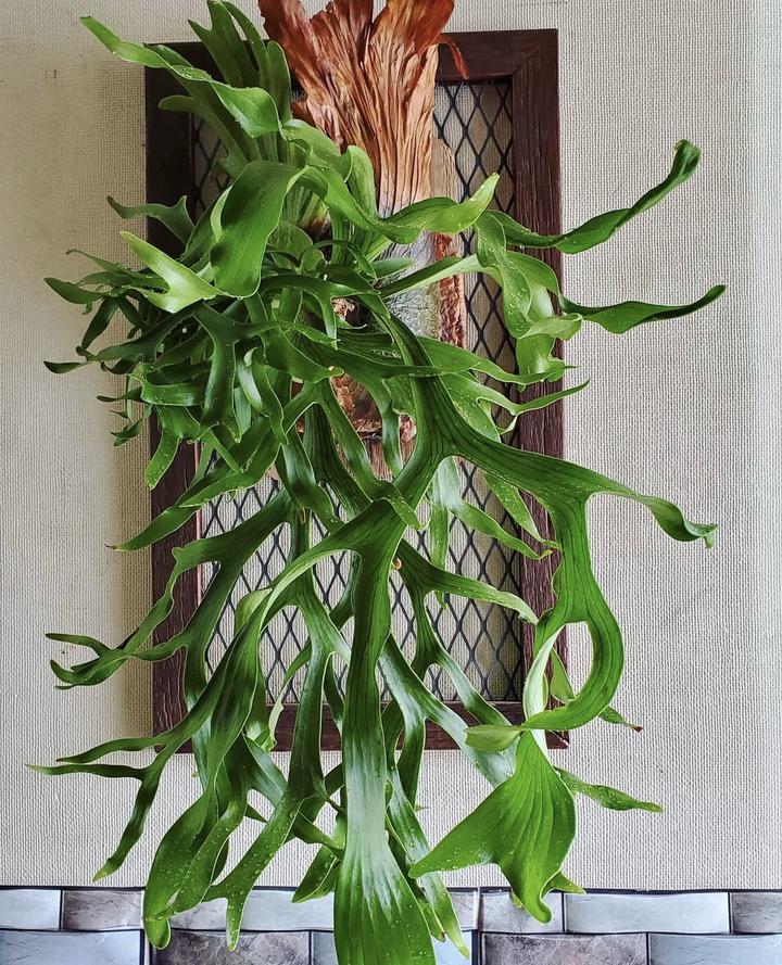 観葉植物の飾り方_吊るす_ビカクシダ