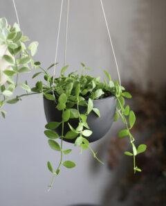 初心者におすすめの観葉植物_ディスキディア