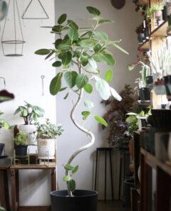 初心者におすすめの観葉植物_ベンガレンシス
