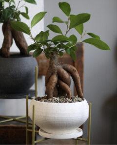 初心者におすすめの観葉植物_ガジュマル