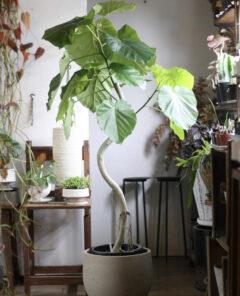 初心者におすすめの観葉植物_ウンベラータ